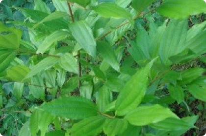 Cinnamomum