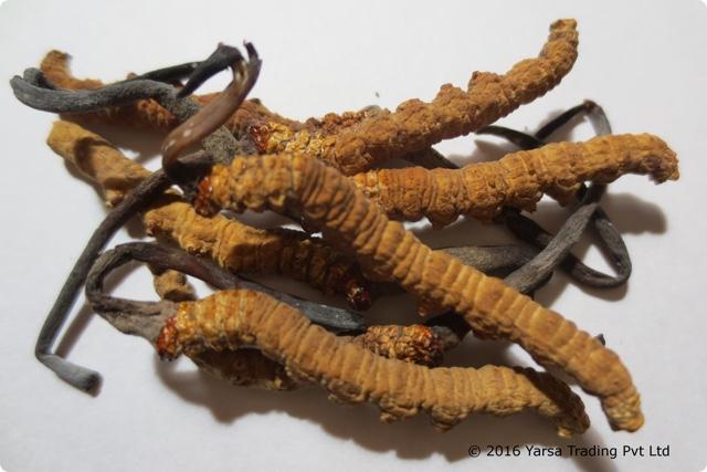 ネパールの天然冬虫夏草
