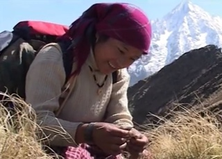 ABOUT CORDYCEPS SINENSIS AND NEPAL